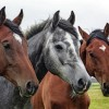 Over 100,000 U.S. Horses Are Exported For Slaughter Annually—Here's How To Help