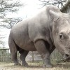 """Last Northern White Rhino Joins Tinder As """"World's Most Eligible Bachelor"""""""
