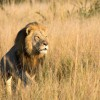 Cecil The Lion's Son Shot, Killed By Trophy Hunters In Zimbabwe