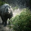 Stem cells may save rhinos from extinction