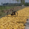 France Asks EU to Halt Monsanto GMO Corn Approval
