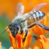 Poland beekeepers kick Monsanto out of the hive, successfully ban bee-killing GM corn