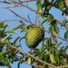 Could the Tropical Fruit Soursop Be a Solution to Cancer?
