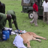 Vets miraculously save life of lioness who got mauled by buffalo