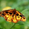 Study Suggests Monsanto Responsible For Monarch Butterfly Endangerment