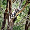 Australian Government Admits That They Killed Hundreds Of Koalas
