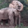 Watch This Mama Elephant And Her Baby Reunite After Years Apart!