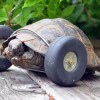 90-Year-Old Tortoise Receives New Wheels After Feet Were Chewed Off By Rats