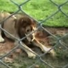 Watch This Circus Lion's Reaction When He Feels Earth For The First Time In 13 Years