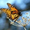 Monarch Butterfly Populations Are Rising Again After Years In Decline
