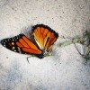 Officials To Build A 'Butterfly Highway' To Save The Monarch Species