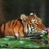 Only 100 Tigers Remain In The Sundarban Forests Of Bangladesh