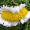 Freaky Photos Of Daisies From Fukushima's 'Safe Zone' Caused By 'Hormonal Imbalances'
