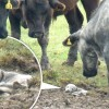 A Herd Of 30 Cows Helped Save This Baby Seal's Life
