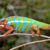 These Newly-Discovered (And Adorably Cute) Chameleons May Help Save The Rainforest