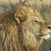 Americans Are Responsible For 75% Of All Lion Trophy Kills In Africa