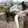 After Being Wounded With Poison Arrows, Desperate Elephant Runs To Humans For Help