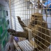 University of Oklahoma To Cease Its Baboon Research By 2019