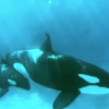 "Orca In SeaWorld Is ""Too Depressed To Nurse Her Calf,"" Experts Say"