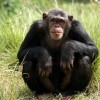 The US Government Is Officially Retiring Its Chimpanzee Research