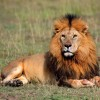African Lions Have Been Added To The U.S.' Endangered Species Act
