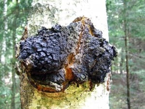 Inonotus obliquus, commonly known as chaga mushroom. Image Credit / Wikipedia