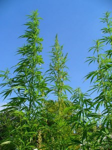 449px-Cannabis_sativa_001
