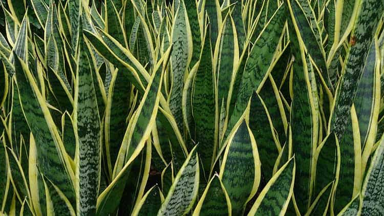 Snake_Plant_(Sansevieria_trifasciata_'Laurentii')