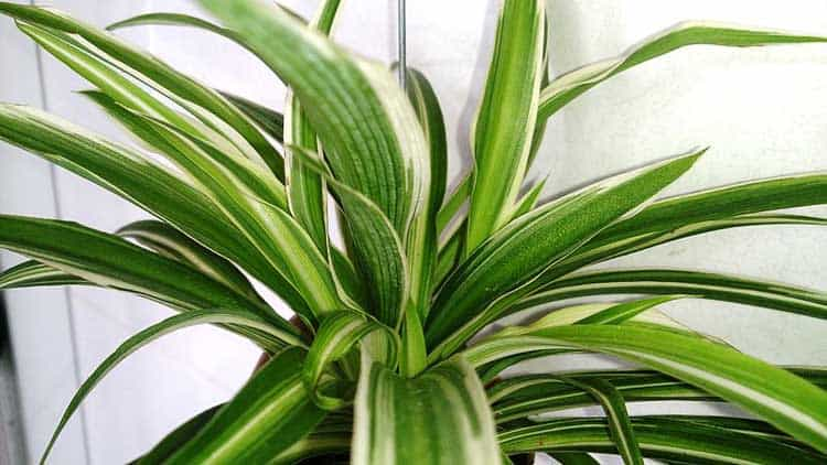 10 best plants to grow indoors for air purification for Is spider plant poisonous to dogs