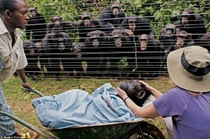 Chimps in the Cameroon mourn the passing of their friend Dorothy, October 2009. But why does this ´human-like´behavior surprise us? CREDIT: Monica Szczupider, Daily Mail