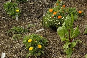Companion planting. Credit: Samuel Mann, Flickr