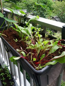 Radish, beet and purslane growing in a small window box. Credit: Samantha cy-v, Flickr