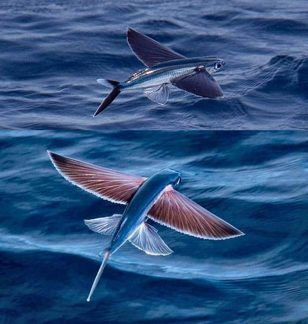 01 - Exocoetidae Flying Fish