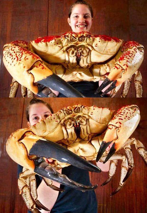 04 - Tasmanian Giant Crab Pseudocarcinus Gigas
