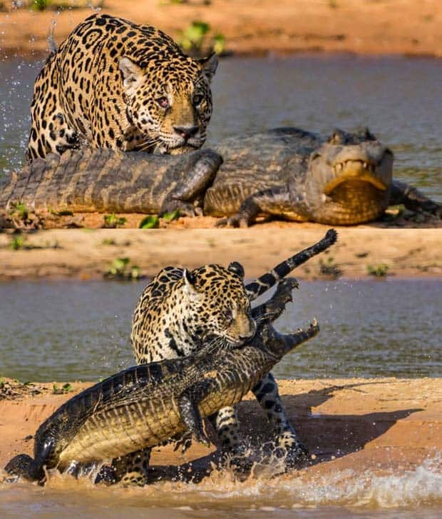 10 - Jaguar Attacks Crocodile