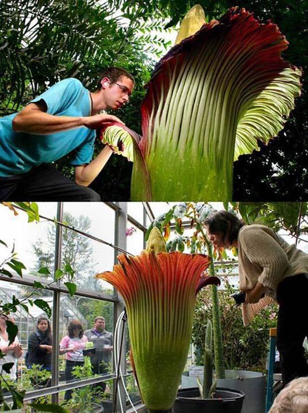 18 - The Corpse Flower Amorphophallus Titanum