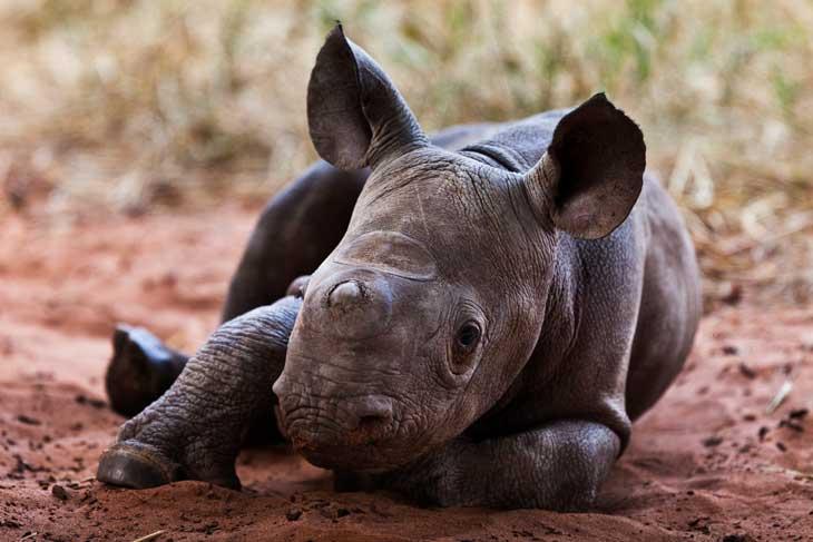 01-Baby-Rhino