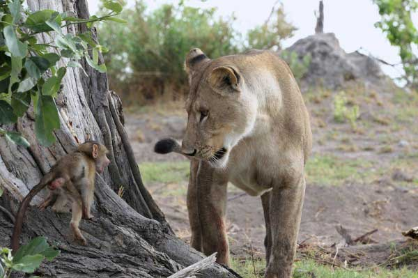 baby-baboon3
