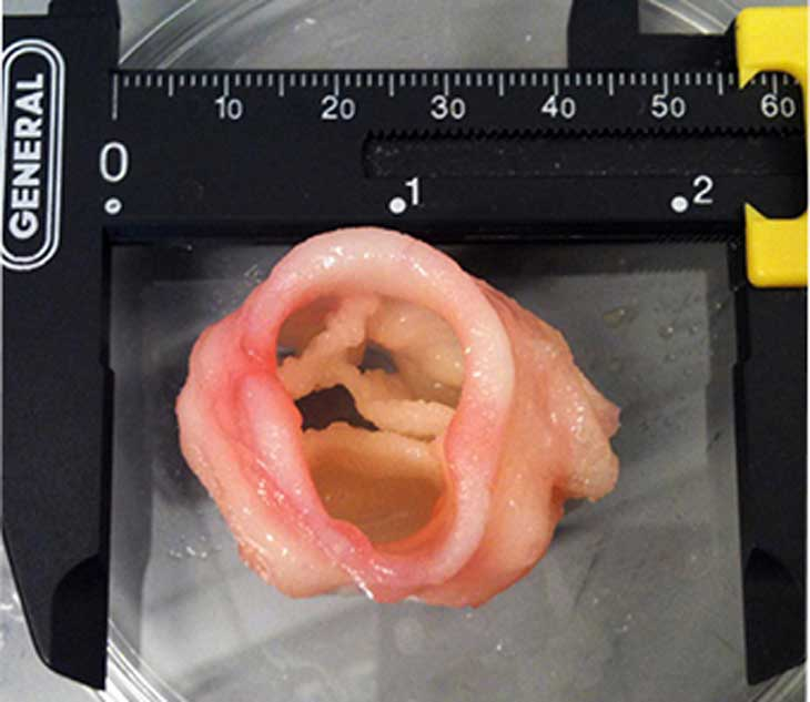 A 3-D print of an artificial heart valve. Image: Jonathan T. Butcher, Cornell University