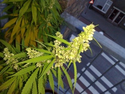 Flowering_male_marijuana_plant