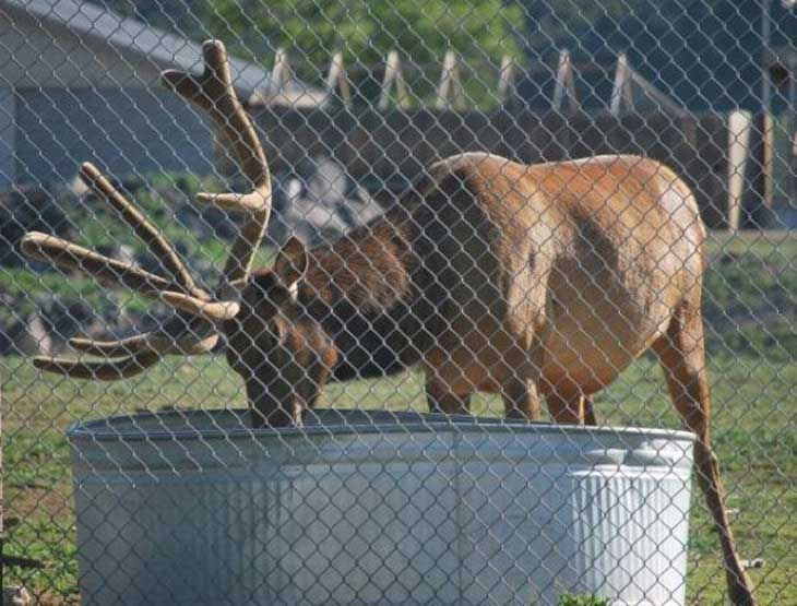 elk-saves-marmot-001