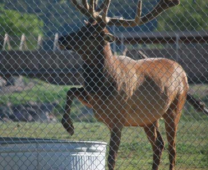 elk-saves-marmot-003