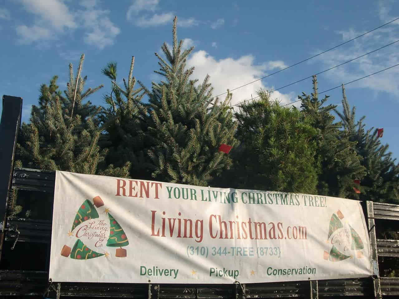 Instead Of Selling Christmas Trees For People To Throw Away At The End Of The Year The Living Christmas Company In California Rents Them Out And Then