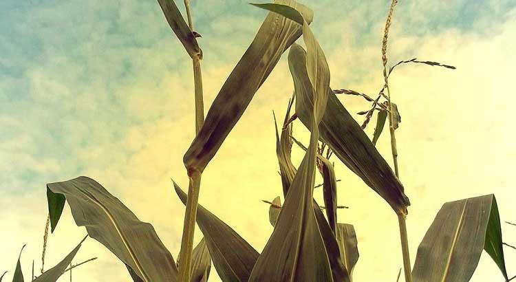 corn-457058_1280