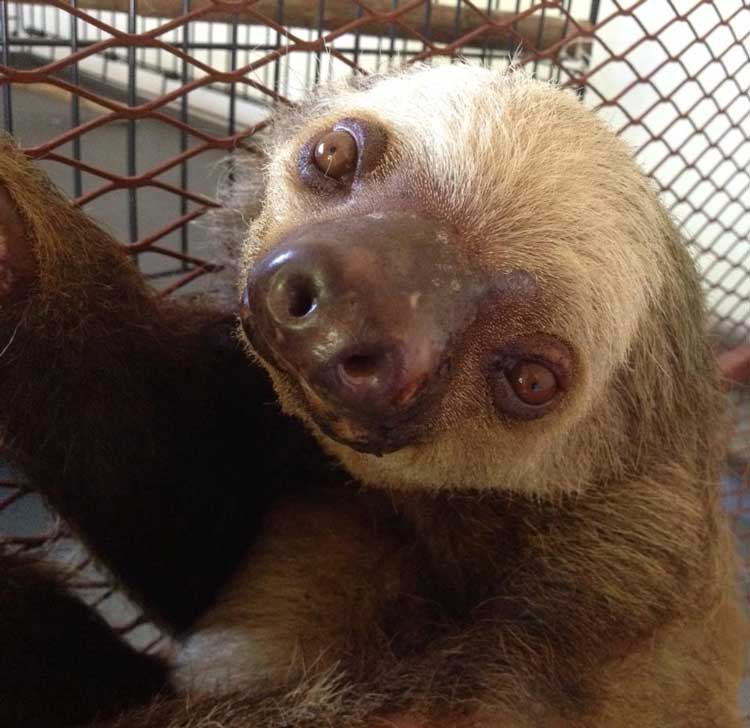 Sloths are just one species at risk from habitat destruction due to cattle ranching in tropical rainforests