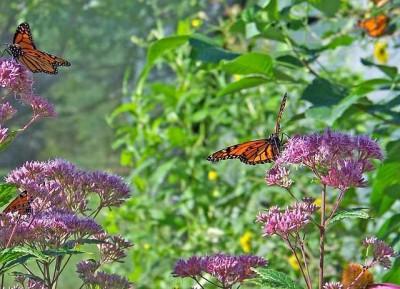 butterflies-18516_640
