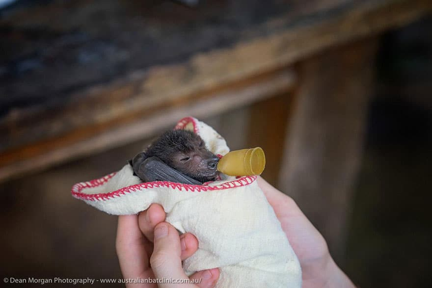 Credit: Australian Bat Clinic