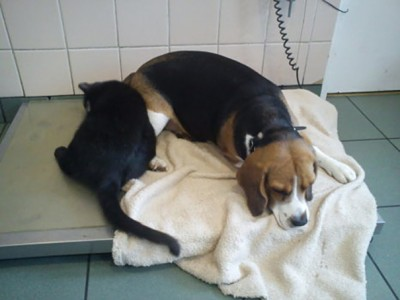 Radamenes gives some loving to a sick beagle