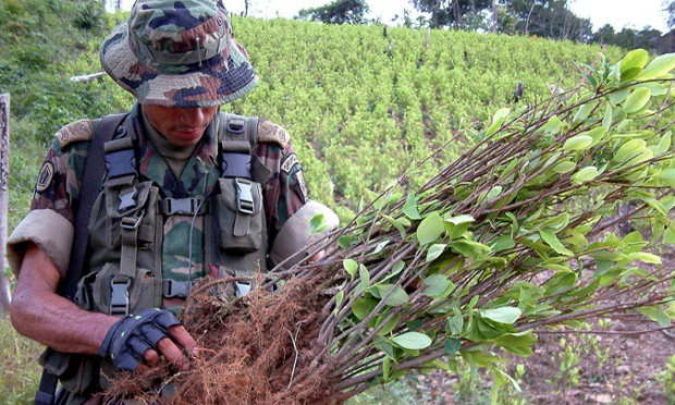A Colombian soldier inspects a coca plant at a 20 hectare plantation found by the army in Sardinata, Colombia, near the northeastern border with Venezuela, on Saturday, Nov 9, 2002  Credit: Efrain Patino