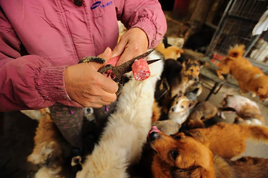 rescued-dogs-yulin-dog-meat-festival-china-15
